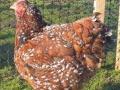 Jubilee orpington chicken jubilee2
