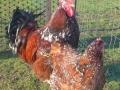Jubilee orpington chicken jubilee4