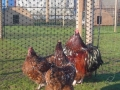 Jubilee orpington chicken l1060277