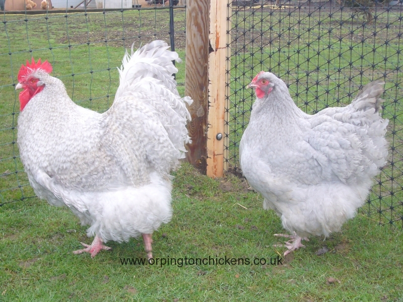 lavender Cuckoo orpington chicken l1060145