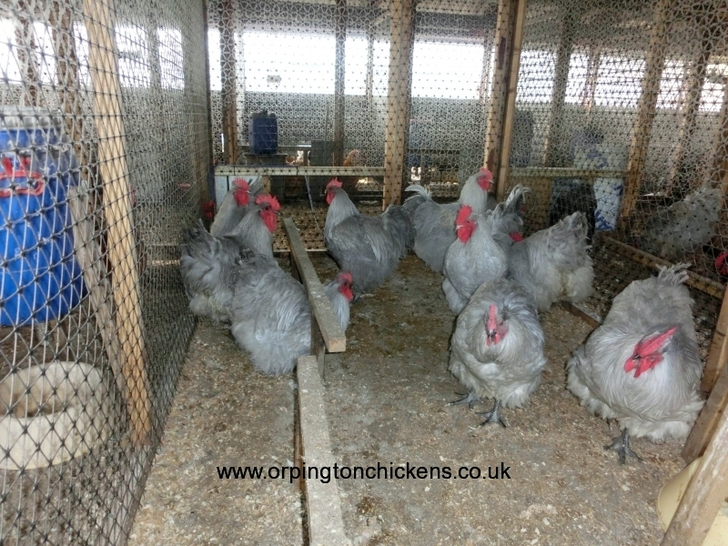 Lavender orpington chicken cimg1922