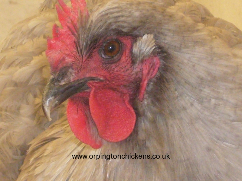 Lavender orpington chicken l1060060