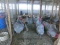 Lavender orpington chicken cimg1921