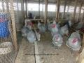 Lavender orpington chicken cimg1922