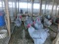 Lavender orpington chicken cimg1923
