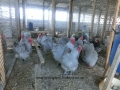 Lavender orpington chicken cimg1924