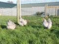 Lavender orpington chicken img_4072