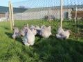 Lavender orpington chicken img_4077
