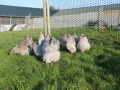 Lavender orpington chicken img_4079