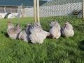 Lavender orpington chicken img_4081