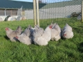 Lavender orpington chicken img_4082