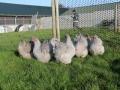 Lavender orpington chicken img_4085