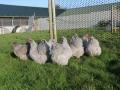 Lavender orpington chicken img_4086