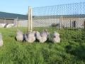 Lavender orpington chicken img_4089