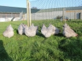 Lavender orpington chicken img_4093