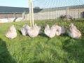 Lavender orpington chicken img_4094