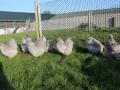Lavender orpington chicken img_4095
