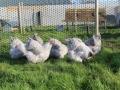 Lavender orpington chicken img_4099