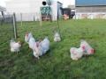 Lavender orpington chicken img_4101