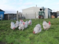 Lavender orpington chicken img_4102