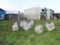 Lavender orpington chicken img_4103
