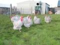 Lavender orpington chicken img_4105