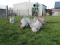 Lavender orpington chicken img_4108