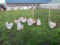 Lavender orpington chicken img_4110
