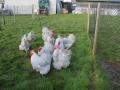 Lavender orpington chicken img_4112