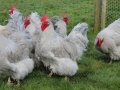 Lavender orpington chicken img_4152