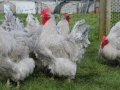 Lavender orpington chicken img_4154
