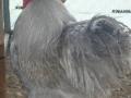 Lavender orpington chicken l1060131