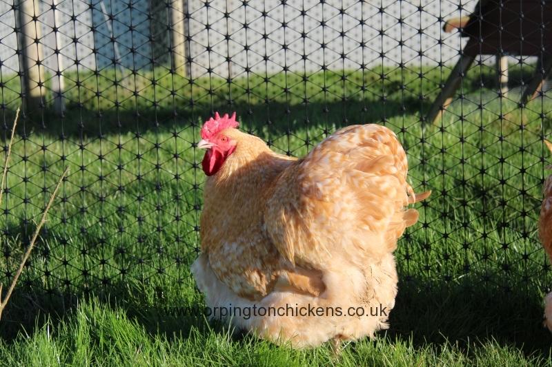 Lemon Cuckoo orpington chicken img_3617