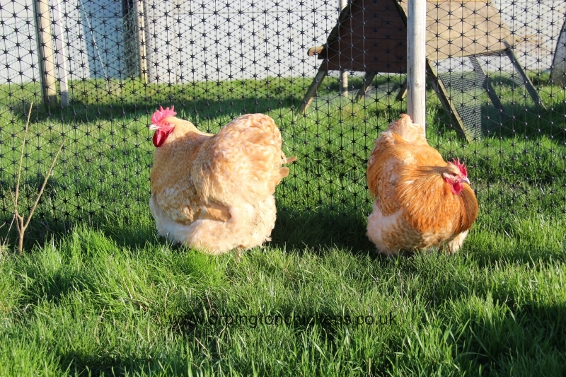Lemon Cuckoo orpington chicken img_3618