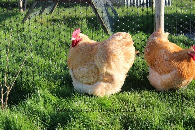 Lemon Cuckoo orpington chicken img_3619