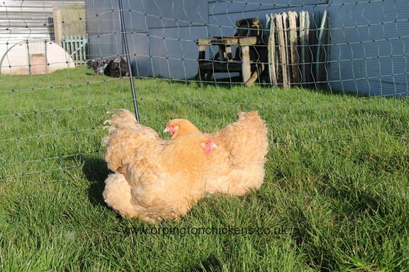 Lemon Cuckoo orpington chicken img_3899