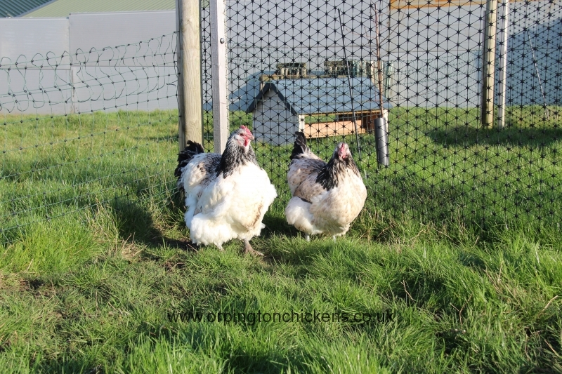 quail orpington chicken img_3967