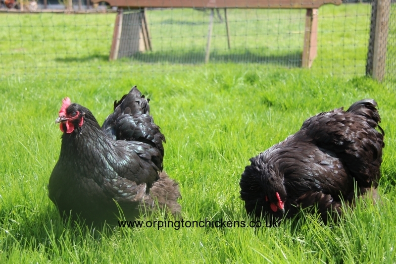 black orpington chicken img_1557