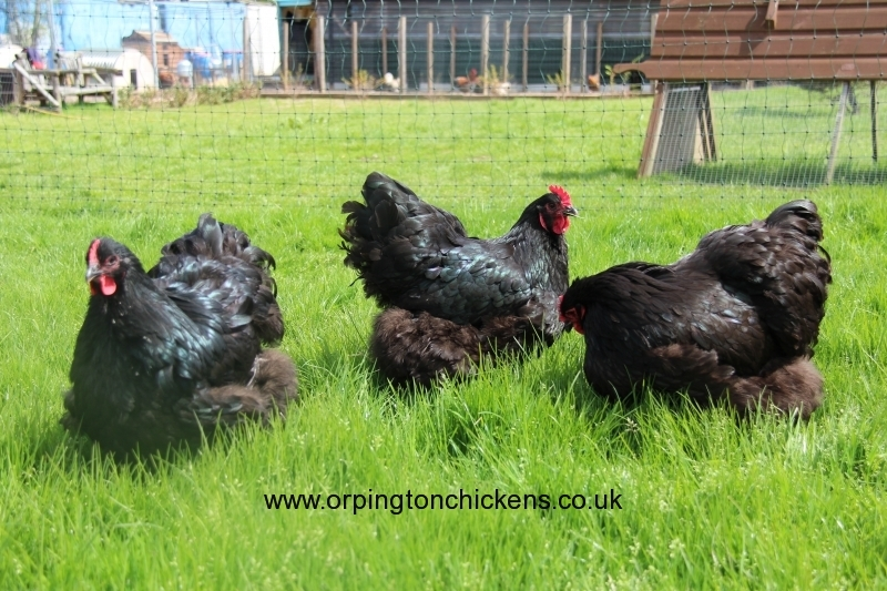 black orpington chicken img_1561