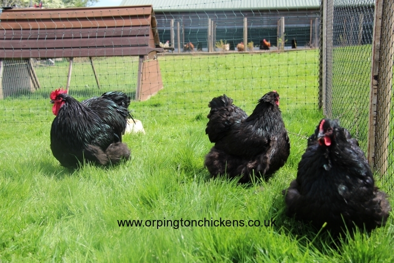 black orpington chicken img_1701