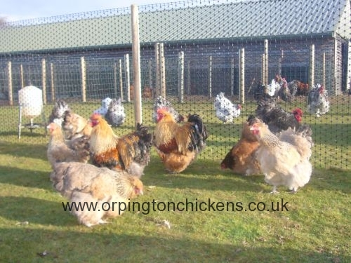 Red crele orpington chicken l1060009