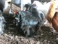 black orpington chicken cimg1726