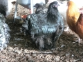 black orpington chicken cimg1727