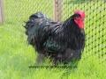 black orpington chicken img_1443