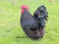 black orpington chicken img_1487