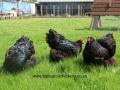 black orpington chicken img_1560