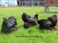 black orpington chicken img_1561