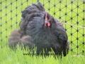 black orpington chicken img_1580