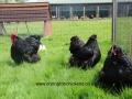 black orpington chicken img_1701