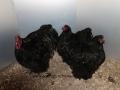black orpington chicken img_3228